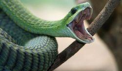 Serpents : venimeux ou pas ?